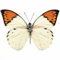 N Batterfly 006 100x70