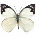 N Batterfly 007 90x70