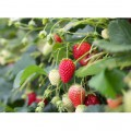 N Fruit 33 300x250 B
